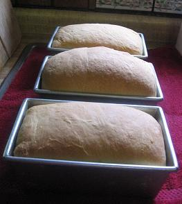 Bread in pans after being baked.