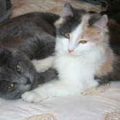 A grey cat and a calico cat lying on a bed together.