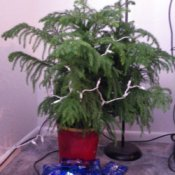 Norfolk pine when healthy.