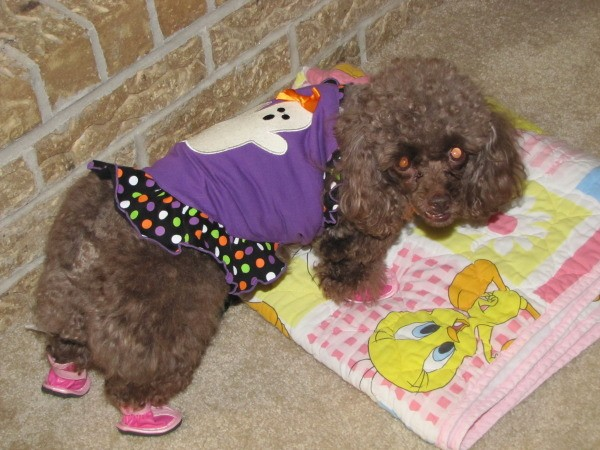 Coco, a toy poodle, wearing a Halloween sweater and pink shoes.