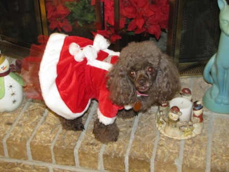 Coco, a toy poodle, wearing a red santa style dress