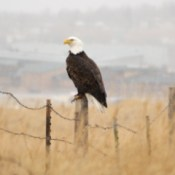Bald Eagle on a Snowy Day (Gillette, Wyoming)