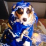 Gonzo (Rat Terrier) in a costume.