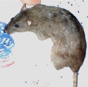 Photo of a pet rat named Lady.