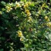 Closeup of agrimony.