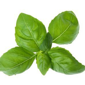 Spring of fresh basil.