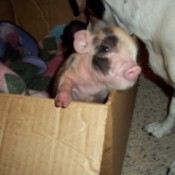 John-C And Little Girl (Piglets)