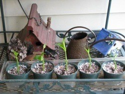 Potted Hydrangea cuttings.