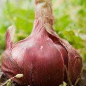 growing red onions