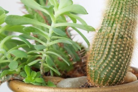 Growing Cactus House Plants