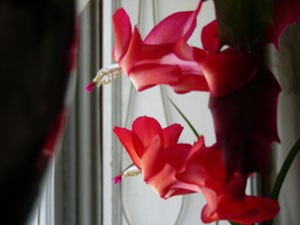 red christmas cactus