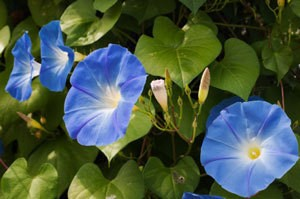 growing morning glory in pots