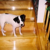 rocky jack russell