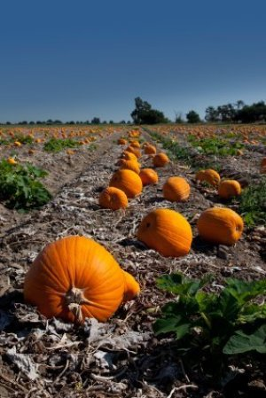 Field of Pumpkins