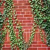 ivy vine growing on brick