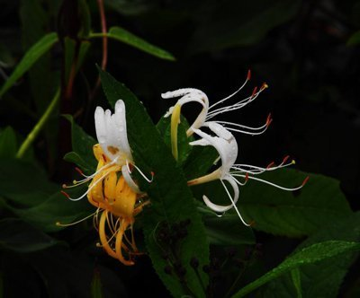 honeysuckle photo
