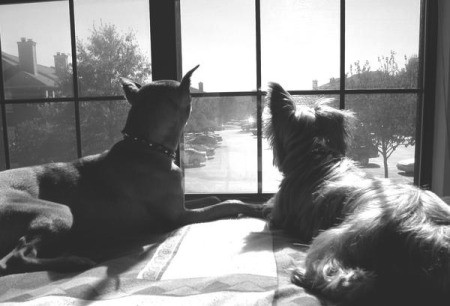 Hank (Yorkshire Terrier) and Harley (Miniature Doberman) - looking out the window.