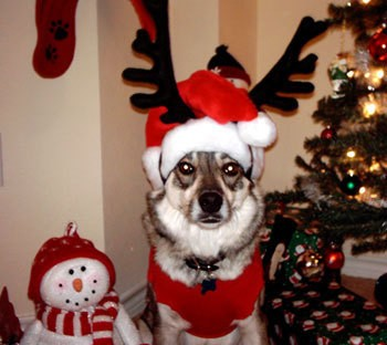 Dog in Santa Costume