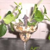 Rooting plant in stemmed glass with rocks and water.