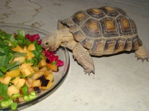 ... for them properly. This is a guide about caring for a pet tortoise