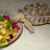 Tortoise Eating Fresh Fruit