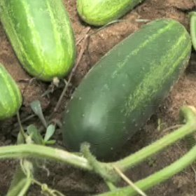 Tips for Growing Cucumbers