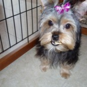 Twinks a Yorkshire Terrier with a pink bow