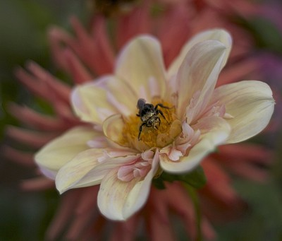 Photo of dahlias with a bee on it.