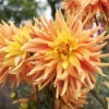 yellow and orange dahlias.
