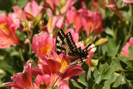 Diving Swallowtail Butterfly