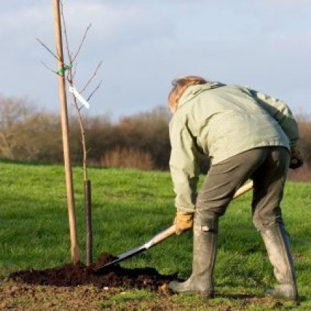 Woman planting young tree.