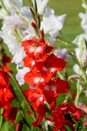 Growing Gladiolus