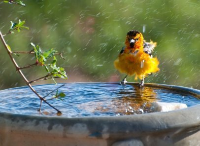 A bullocks oriole taking a bath.