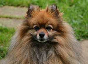 Pomeranian Breed Info