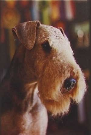 Airedale Terrier Profile