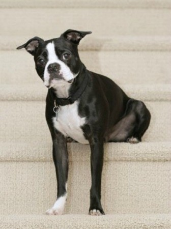 Boston Terrier Breed Info