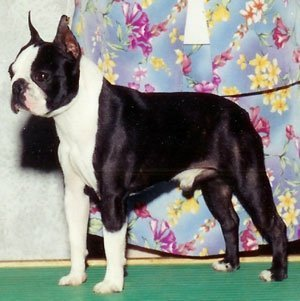 Boston Terrier Rocky