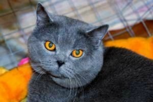 British Shorthair Breed Info