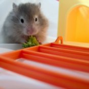 Hamster Eating Brocoli in Cage