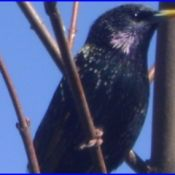 Blackie, a starling that lives in the eaves of a house.
