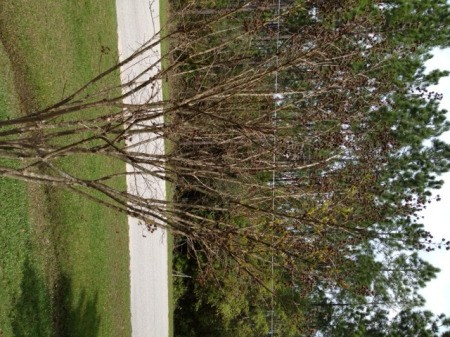 Crepe myrtle with few leaves.