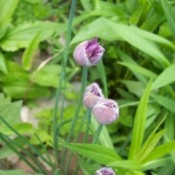 Chive flower just opening from the closed bud.