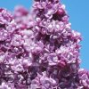 Lilacs in Sun With Blue Sky