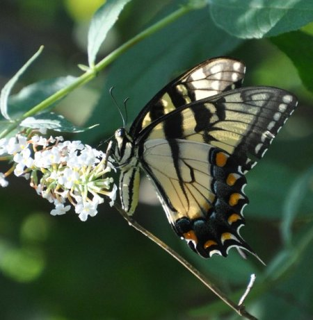Tiger Swallowtail Butterfly (North Carolina)