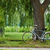 Photo of a weeping willow tree.