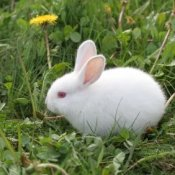 Rabbit in Grass With Dandelions