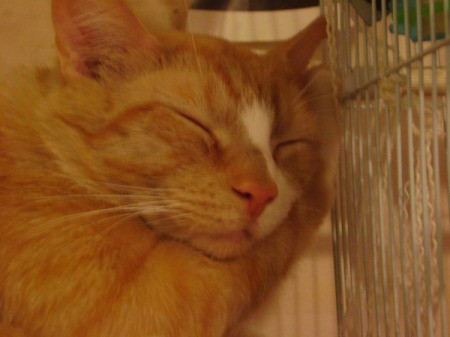Peanut, an orange tabby, asleep with his face and one paw resting on a parakeet cage