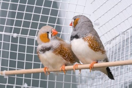Pair of Zebra Finches on Perch