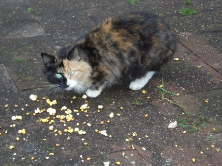 A calico cat eating popcorn intended for birds.