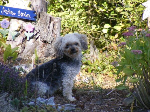 Ellie Mae (Yorkshire Terrier/Toy Poodle) sitting outside.